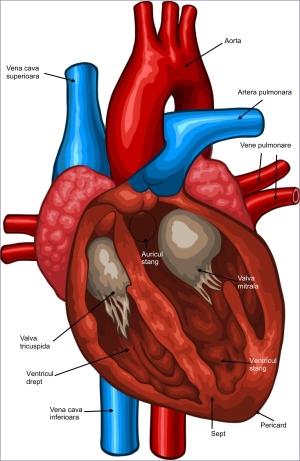 intepaturi inima