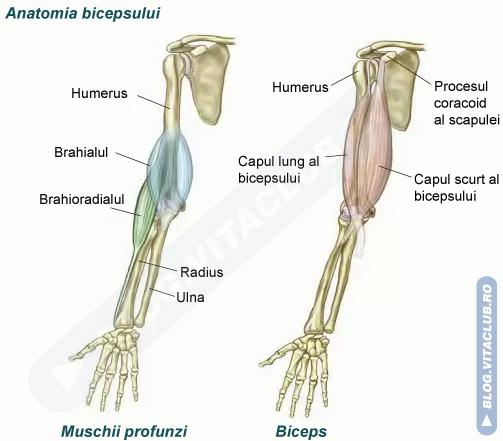 structura si fiziologia muschiului biceps brahial