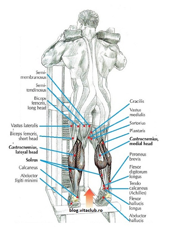 muschi picioare gamba solear gastrocnemieni