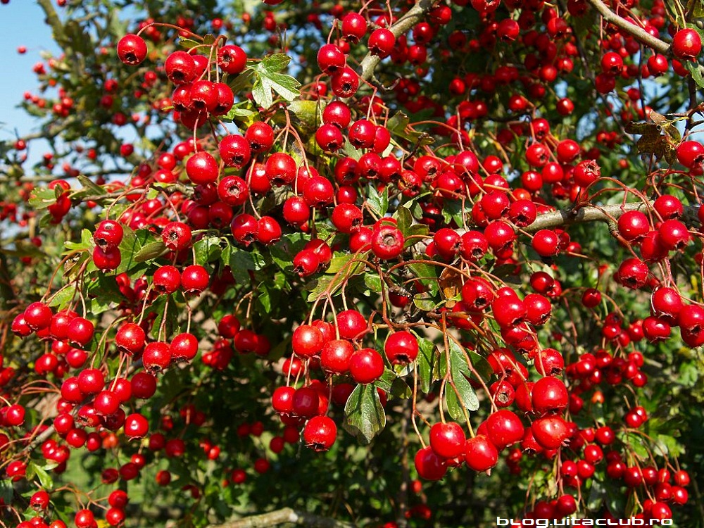 paducel fructe flori infuzie ceai menopauza aritmii vasodilatator antispastic insomnie insuficienta cardiaca sedativ