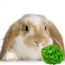 iepure salata verde