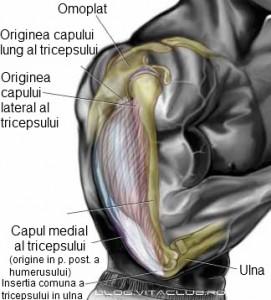 exercitii pentru capul lung median si lateral al tricepsului cu gantere si haltera