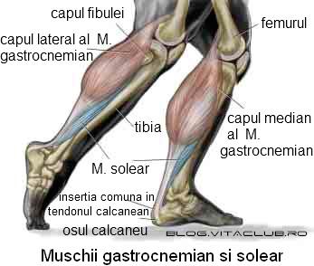 Muschiul gastrocnemian latera median si muschiul solear alcatuiesc musculatura gambei