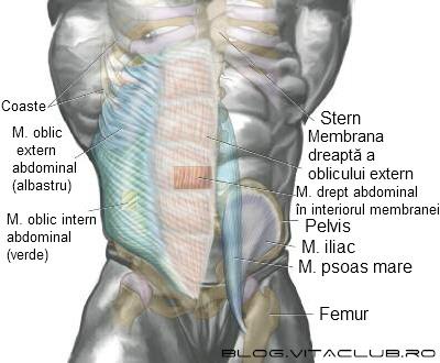 muschii abdomenului