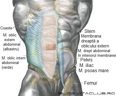 poza cu muschii abdomenului