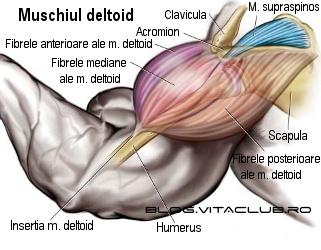 structura si fizionomia muschiului deltoid