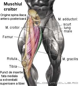 structura si functie musculara muschiul croitor