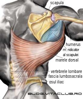 structura si functia muschiului marele dorsal