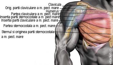 originea muschiului pectoral mare pe humerus si stern