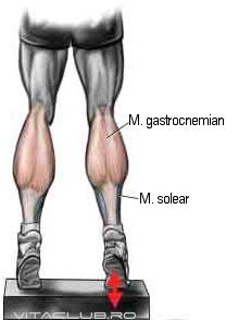 muschii gastrocnemiani si solear sunt principali muschi ai gambei
